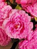 Pink flower. A pink flower stock photos