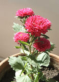 Pink flower. S on flowerpot - shallow dof royalty free stock photography