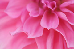 Pink flower. Macro shot of pink flower petals Royalty Free Stock Photography