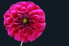 Pink flower Royalty Free Stock Photography