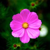 Pink flower. A beautiful pink flower in garden Royalty Free Stock Images