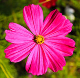 Pink Flower. Stock Photo