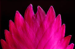 Pink flower 2. Details of a pink flower with black background Royalty Free Stock Images