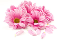Pink flower Stock Image