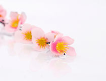 Pink flower. Close-up pink flower on white background Royalty Free Stock Images