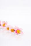 Pink flower. Close-up pink flower on white background Stock Image