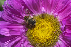 Pink flower. Bee in a flower garden Royalty Free Stock Photography