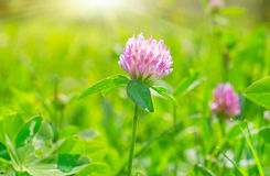 Pink flower. In the summer day royalty free stock image