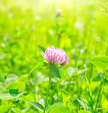 Pink flower. In the summer day stock image