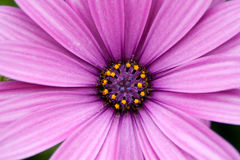 Pink flower. Closeup of a beautiful pink daisy flowers Royalty Free Stock Photo