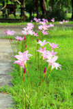 Pink flower. On the green grass Royalty Free Stock Photography
