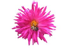 Pink flower. With bee on it Royalty Free Stock Image