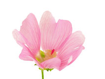 A pink flower. Stock Photos
