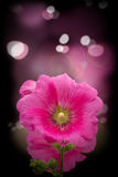 Pink flower. With bud on pink background Stock Photo