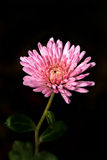 Pink flower. Photo of a single pink flower Royalty Free Stock Image