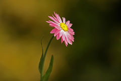 Pink Flower. On pastel background Royalty Free Stock Photo