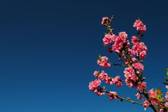 Pink flower. Pink flower in bluesky in Thailand Stock Photos