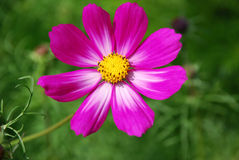 Pink flower. Bright pink flower with large pedals against a green background Stock Photos