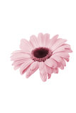 Pink flower. Isolated on a white background Stock Photography