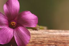 Pink flower. Closeup of pretty pink flower on wood Royalty Free Stock Photo