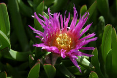 Pink flower. A succulant flower blooms in pink and yellow amongst its think green leaves royalty free stock photos