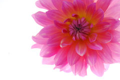 Pink flower. Closeup of bright pink flower isolated against white background Stock Photography