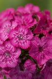 Pink flower. Flower macro Royalty Free Stock Images