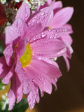 Pink flower. Macro of dew on pink flower Royalty Free Stock Photos