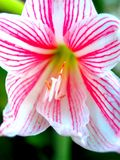 Pink flower 72 Stock Photography