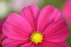 Pink Flower. Closeup shot of a pink flower with the lower half cropped out Royalty Free Stock Photos