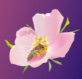 Pink flower. Pink dogrose with the bee Stock Photo