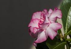 Pink flower adenium obesum blooms. Royalty Free Stock Image