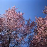 Pink flower against The Sky. Beauty in the nature royalty free stock images