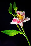 Pink flower alstroemeria on a black background. Translucent pink flower alstroemeria (Small orchid) on a black background Stock Photo
