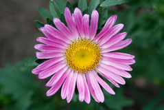 Pink  flower Aster Stock Photos