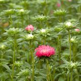 Pink flower aster and buds blooming in a park or garden. Beautiful pink asters densely growing on the lawn royalty free stock photo