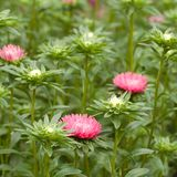 Pink flower aster and buds blooming in a park or garden. Beautiful pink asters densely growing on the lawn royalty free stock image