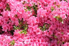 Pink flower azalea rhododendron group bright cerise flowers background crops Rho stock images