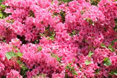 Pink flower azalea rhododendron group bright cerise flowers background crops Rho royalty free stock photography