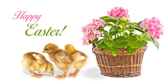 Pink flower and baby chickens. Pink flower in basket and baby chickens stock photo