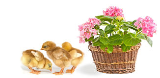 Pink flower and baby chickens. Pink flower in basket and baby chickens royalty free stock image