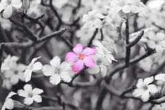 Pink flower on back and white background Stock Images