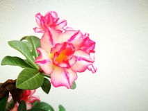 Pink flower. The pink flower background royalty free stock photos