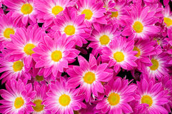 Pink flower background Royalty Free Stock Photography