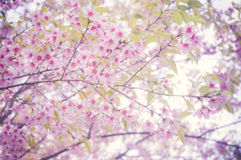 Pink flower. Background (Prunus cerasoides Royalty Free Stock Photos