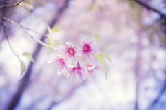 Pink flower. Background (Prunus cerasoides Stock Images