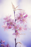 Pink flower. Background (Prunus cerasoides Royalty Free Stock Images