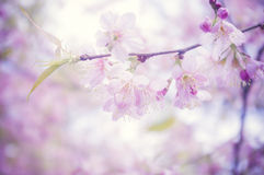 Pink flower. Background (Prunus cerasoides Stock Photography