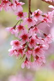 Pink flower. Wild Himalayan Cherry, Pink flower background Royalty Free Stock Image
