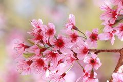 Pink flower. Wild Himalayan Cherry, Pink flower background Royalty Free Stock Photography